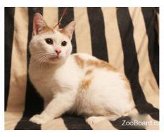 Белый с рыжими пятнами кот