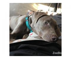 Веймаранер щенок 6 месяцев