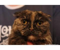 Марго вислоухая длинношерстная кошка метис