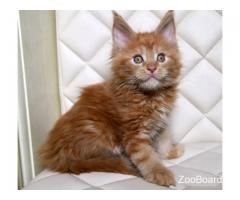 Рыжий котенок мейн-куна