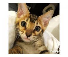 Бенгальский котенок с родословной
