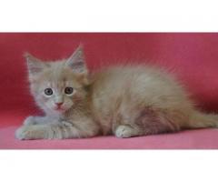 Кремовый котик мейн-кун