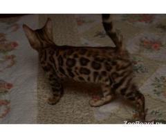 Бенгальский чистокровный котенок