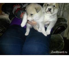 Очаровательные щенки Лайки
