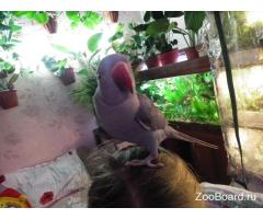 Ожереловый попугай мальчик