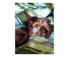 Абиссинская порода котёнок девочка