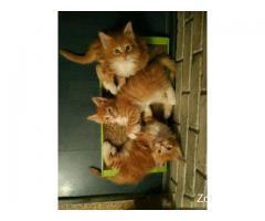 Мейн кун котики