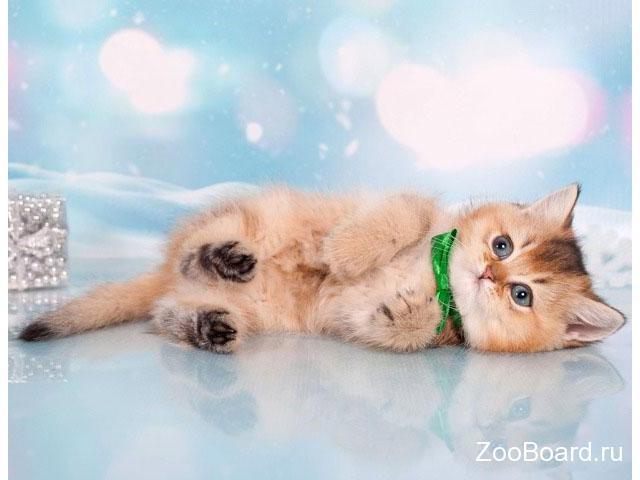 Британский котенок золотая шишилла. Lanselot - 2/4