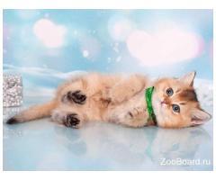 Британский котенок золотая шишилла. Lanselot