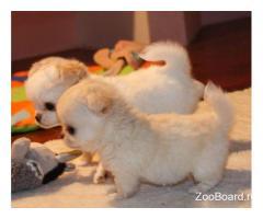 Роскошные щенки чихуахуа