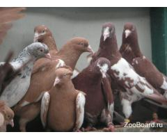 Бойные голуби