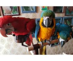 попугаи - ручные птенцы из питомников европы