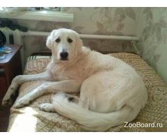 ищу свою собаку породы маремма