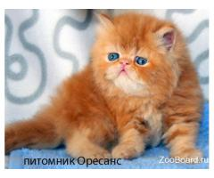 Персидский котик красный мрамор