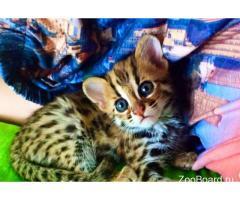 Продам котенка АЛК (лат.Felis bengalensis)