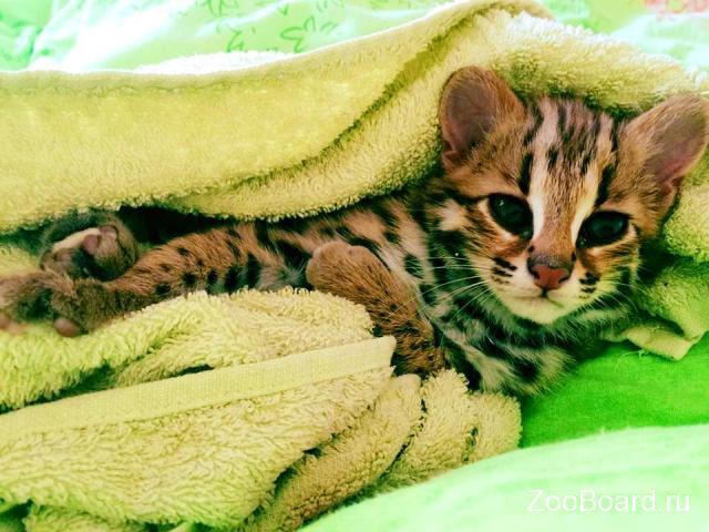 Продам котенка АЛК (лат.Felis bengalensis) - 3/4