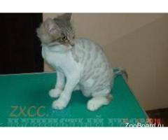 Стрижка кота в колтунах без наркоза