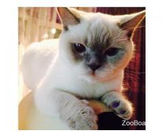 Отдам кошечку британанку беленькую с голубыми глазками в добрые руки