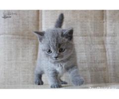 Питомник британских кошек г.Москва