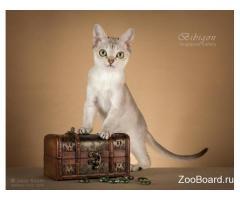 Котята породы Сингапура из питомника Бибигон