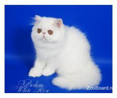 Персидский котенок белого окраса с медными глазами