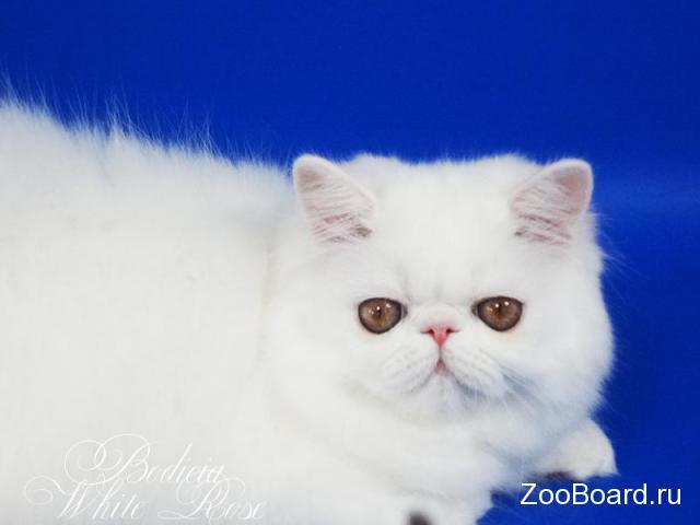 Персидский котенок белого окраса с медными глазами - 2/3