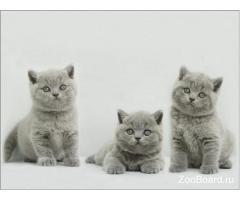 Продаются голубые британские котята, клубные, с документами