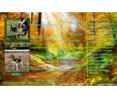 Щенки бигля от питомника,родословная FCI