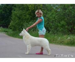 Длинношерстный щенок Белой Швейцарской Овчарки.