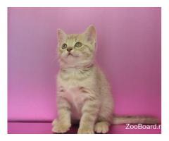Шотландские котята уникальных окрасов