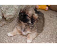 Элитные щенки тибетского спаниеля