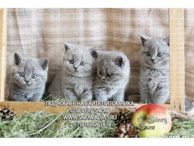 Британские голубые котята с плюшевой шерстью. - 1/2