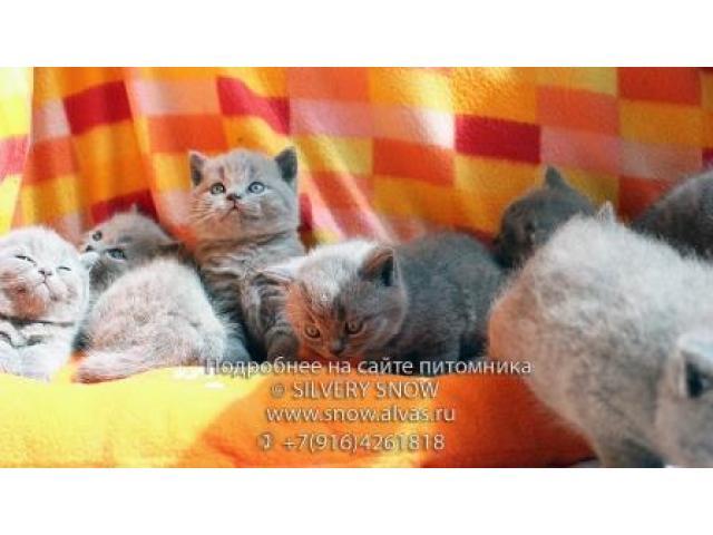 Британские голубые котята с плюшевой шерстью. - 2/2