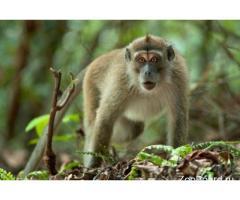 Яванская макака – как выбрать и купить обезьянку