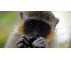 Живая зеленая мартышка или верветка – детально о покупке и содержании