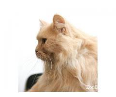 Рыжая кошка Томасина ищет дом