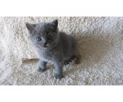 Плюшевый британский котенок