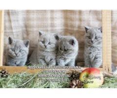 Британские голубые котята с плюшевой шерстью.