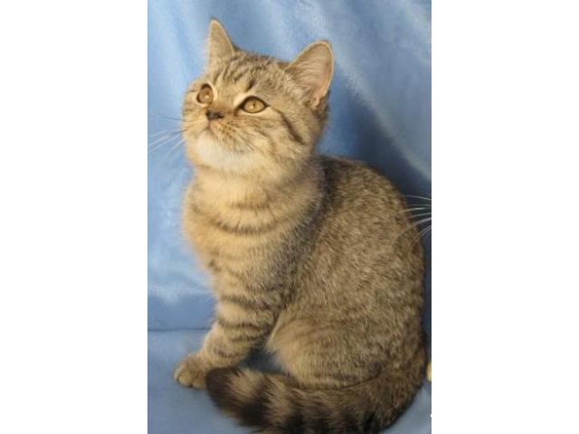 Шотландские котята серебристые и брауны. - 2/4