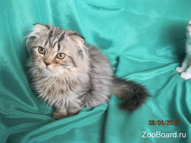 Шотландские котята серебристые и брауны. - 1/4
