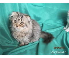 Шотландские котята серебристые и брауны.