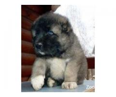 Продаю щенков кавказской овчарки