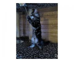 Продажа чистопородных потрясающих котят мейн кунов