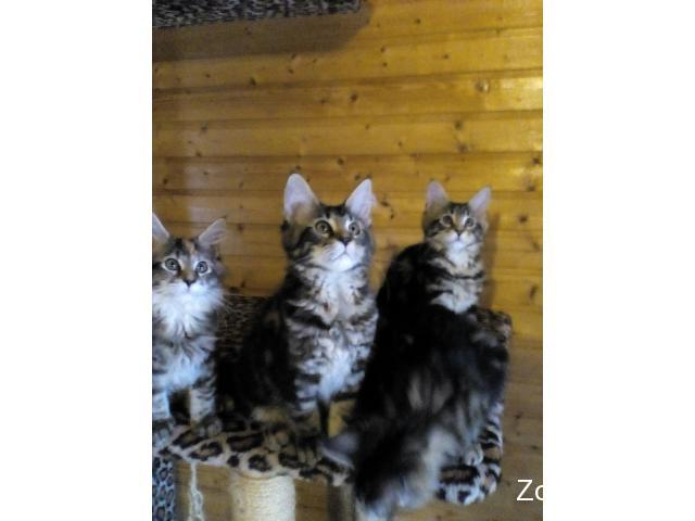 Продажа чистопородных потрясающих котят мейн кунов - 3/4