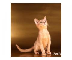 Абиссинские котята разного окраса