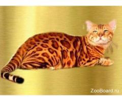 Шикарные бенгальские котята для вас