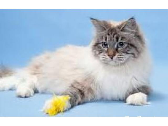 Стерилизация кошек. Кастрация котов. Удаление когтей у кошек - 1/3
