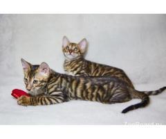 Котята тойгер