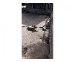 Заяц, Мара — Патагонский