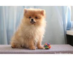 Немецкий Шпиц - щенок